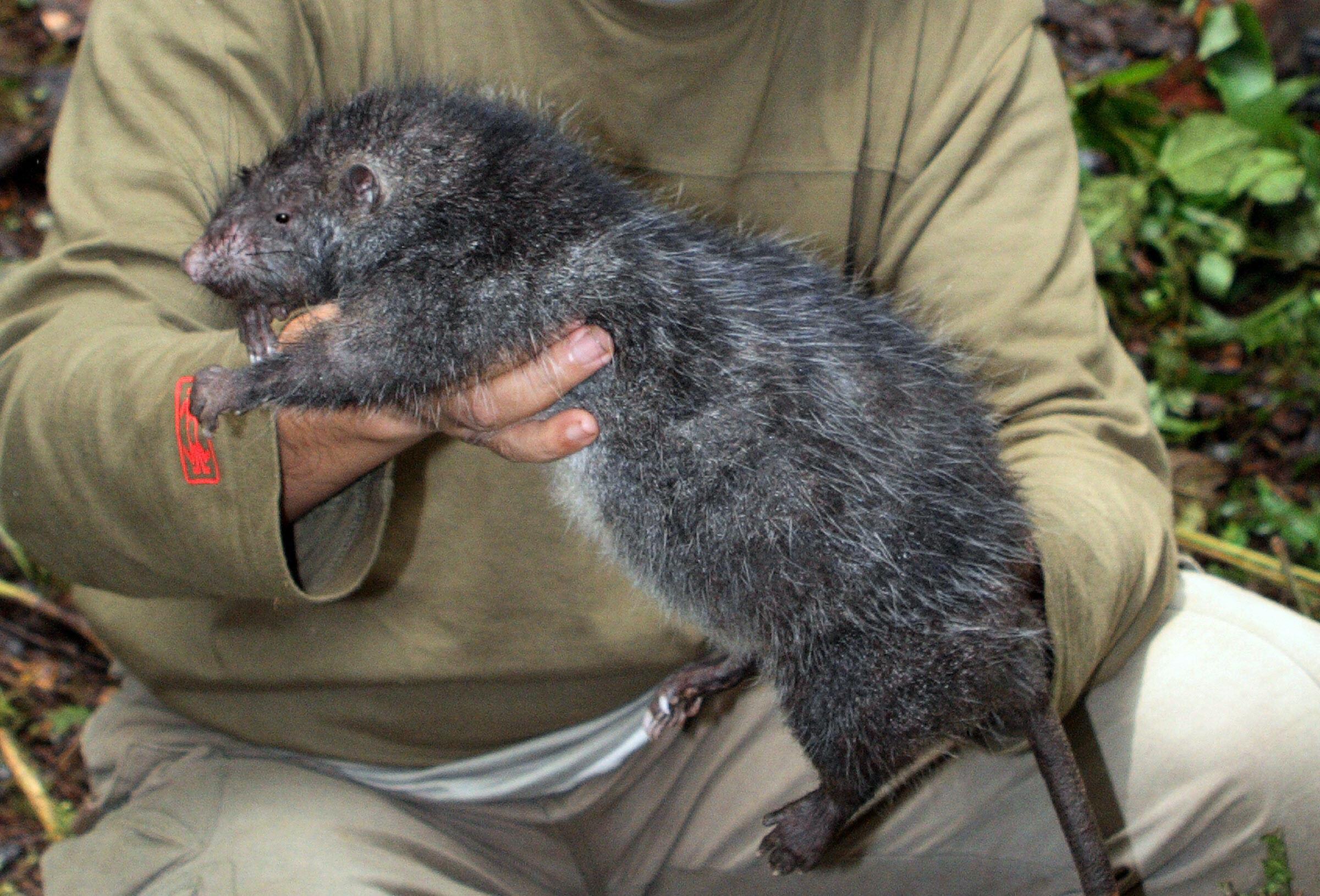 Фото больших крыс 11 фотография